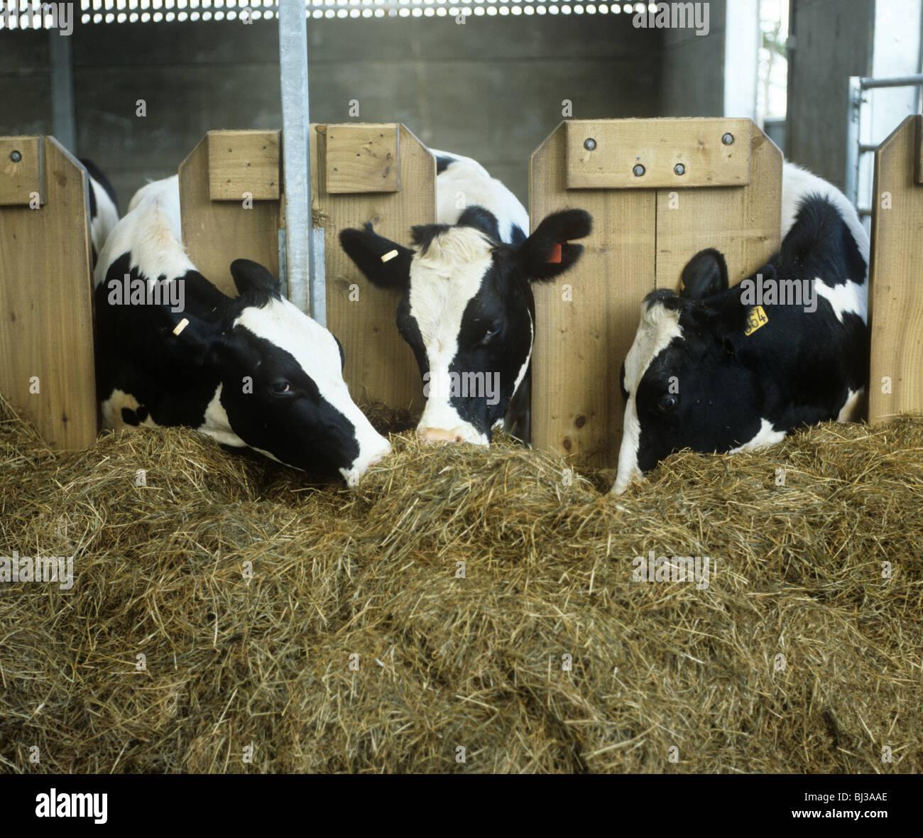 Tres vacas Holstein Friesian en la moderna casa de ganado en el ensilaje de alimentación a través de un Imagen De Stock