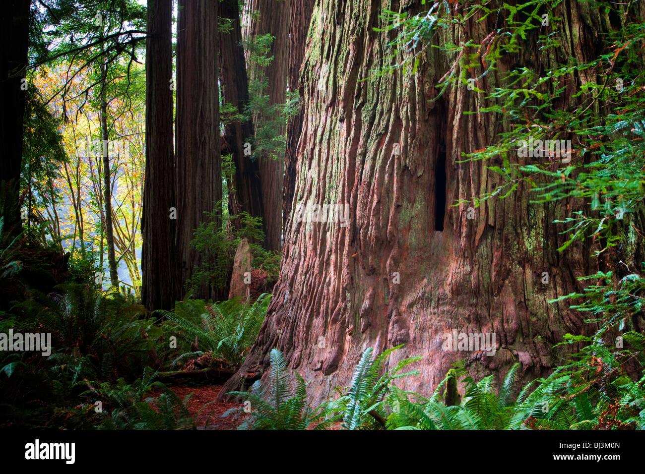 Secoyas y grandes hojas de árbol de arce en otoño de color. Jedediah Smith Redwoods State Park, California Foto de stock