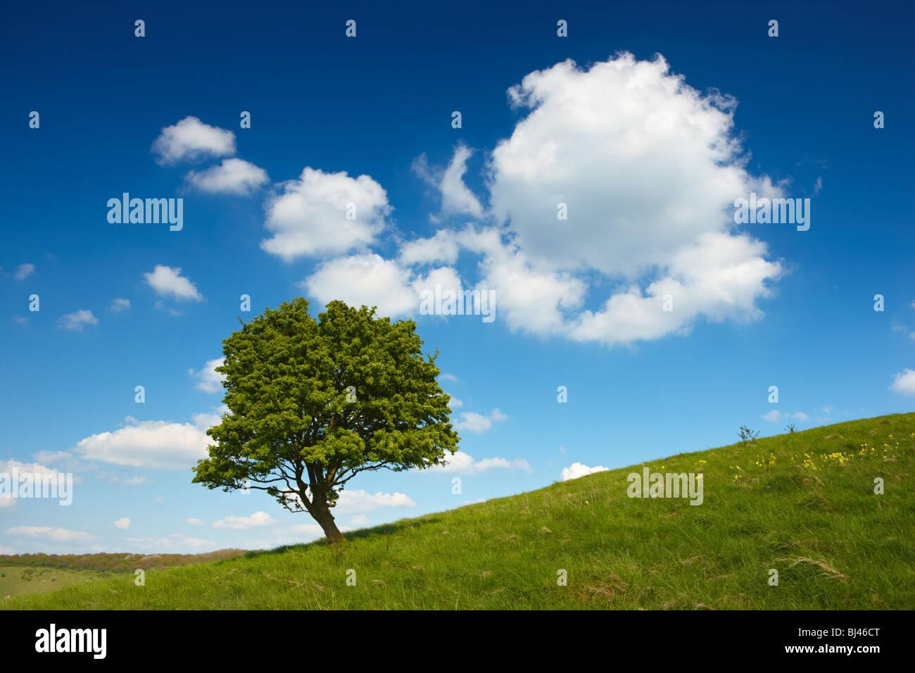 Lone Tree en lo alto de una colina en la campiña de Buckinghamshire Imagen De Stock