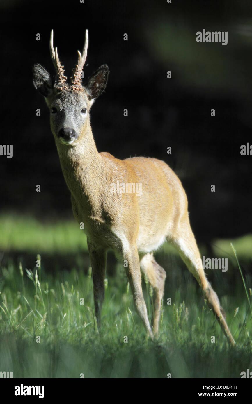 El corzo (Capreolus capreolus), Buck alerta permanente, Alemania Imagen De Stock