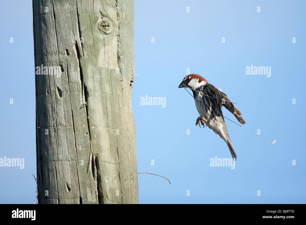 Español gorriones (Passer hispaniolensis), macho de aterrizar en nido con material de nido, Portugal Imagen De Stock