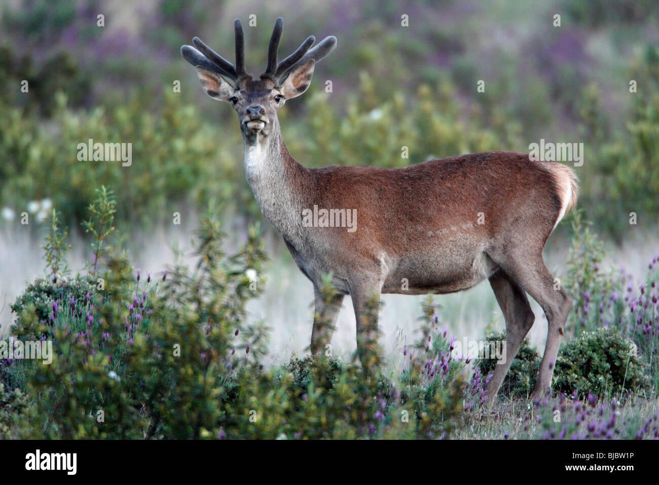 Reed ciervo colorado (Cervus elaphus) - joven soltero(a) con el nuevo desarrollo de astas, cubierto de terciopelo, Imagen De Stock