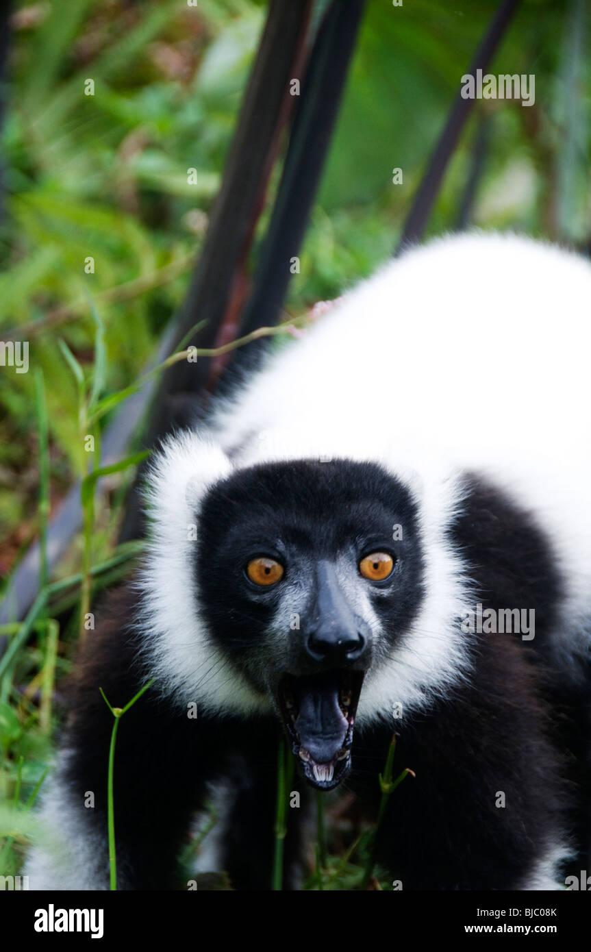 Lémures .Vakona reserva forestal.White ruffed lemur haciendo una cara feroz cuando se enfrentan con el peligro Imagen De Stock