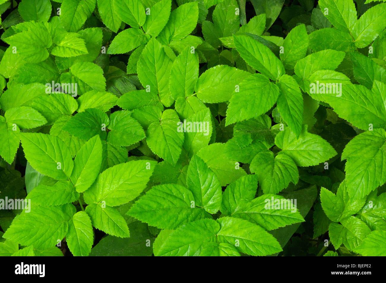 Tierra Aegopodium podagraria elder (hojas), visto desde arriba. Imagen De Stock