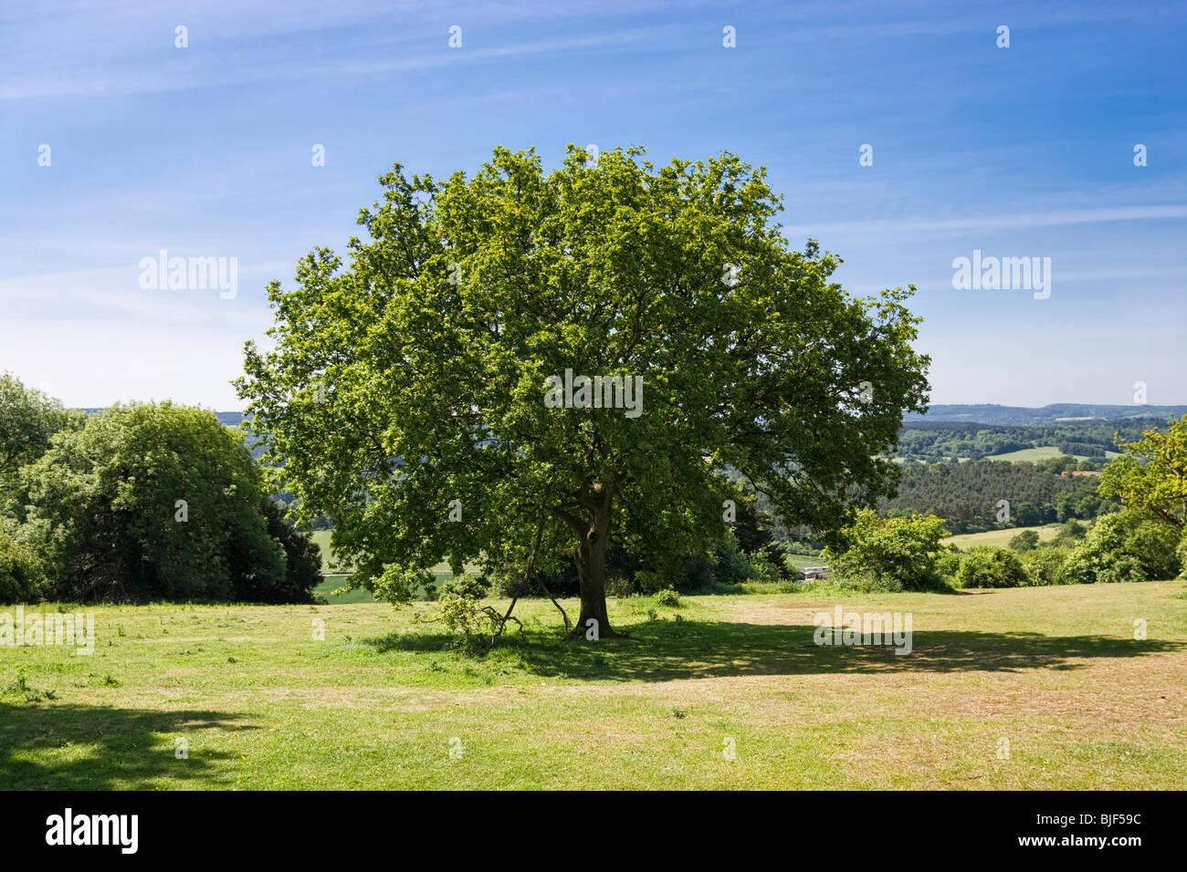 Árbol de roble en Newlands Corner, Surrey, Inglaterra, Reino Unido. Imagen De Stock