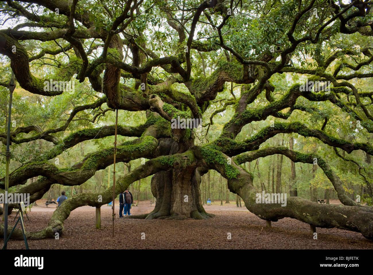 El Angel Oak, Quercus virginiana, el sur más grande en el mundo de Live Oak, cerca de Charleston, Carolina del Sur, EE.UU.. Foto de stock