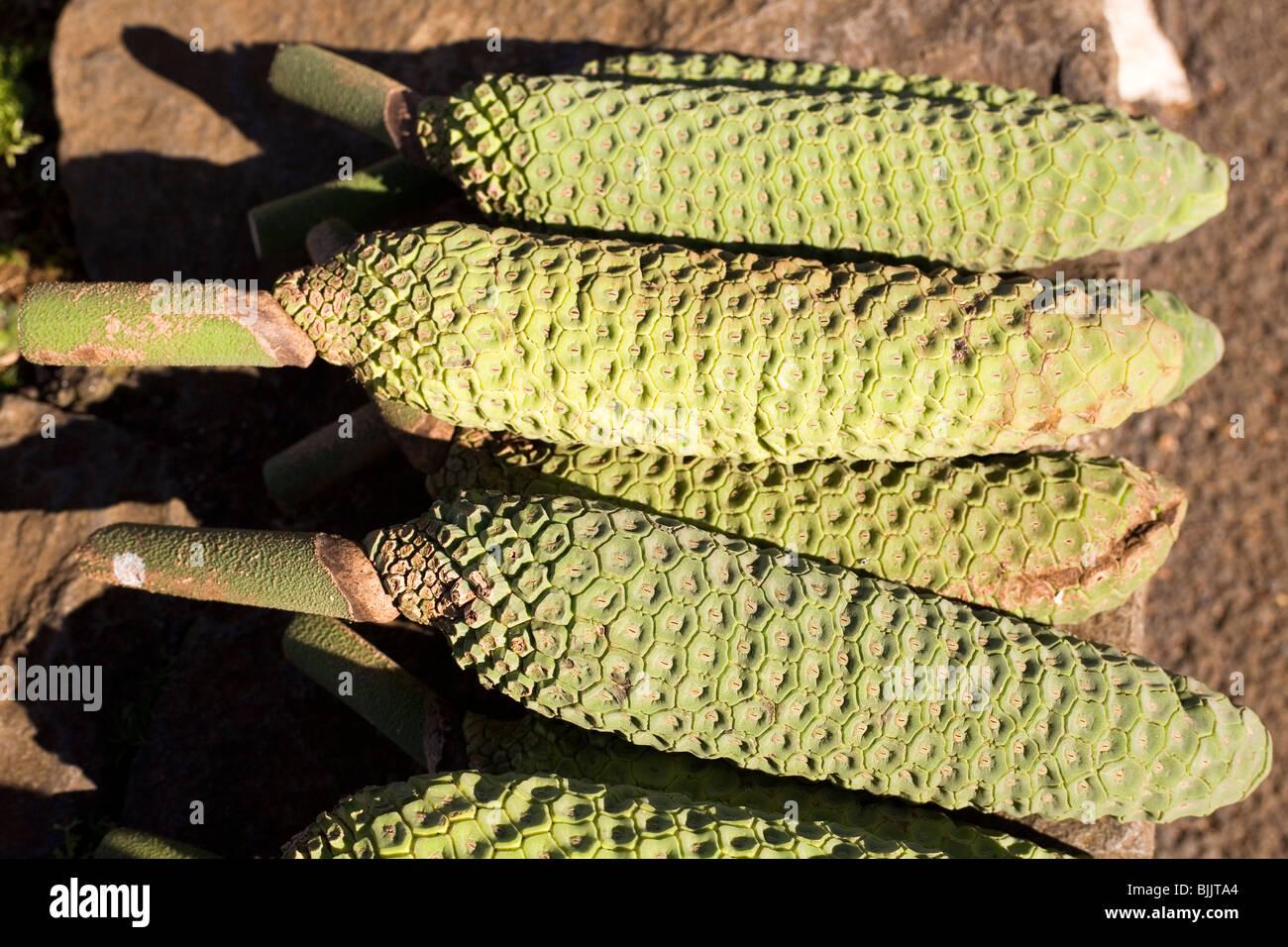 El habitual, fruta, conocida como piña-banano (fruto delicioso) se vende a un puesto en el mercado en Cabanas, Imagen De Stock