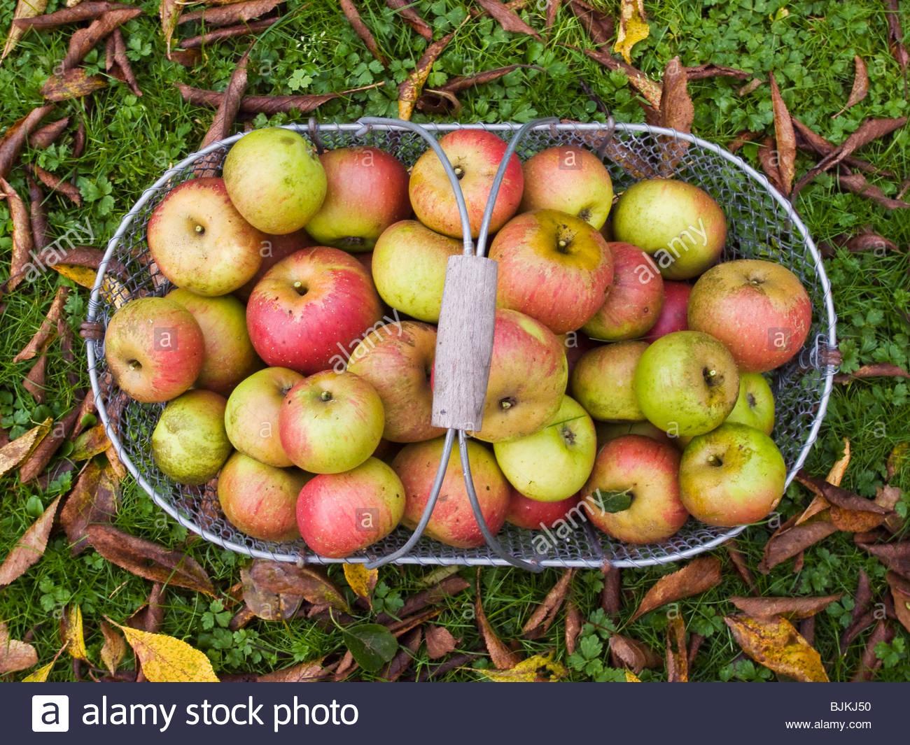 Las manzanas en una canasta fuera de puertas Imagen De Stock
