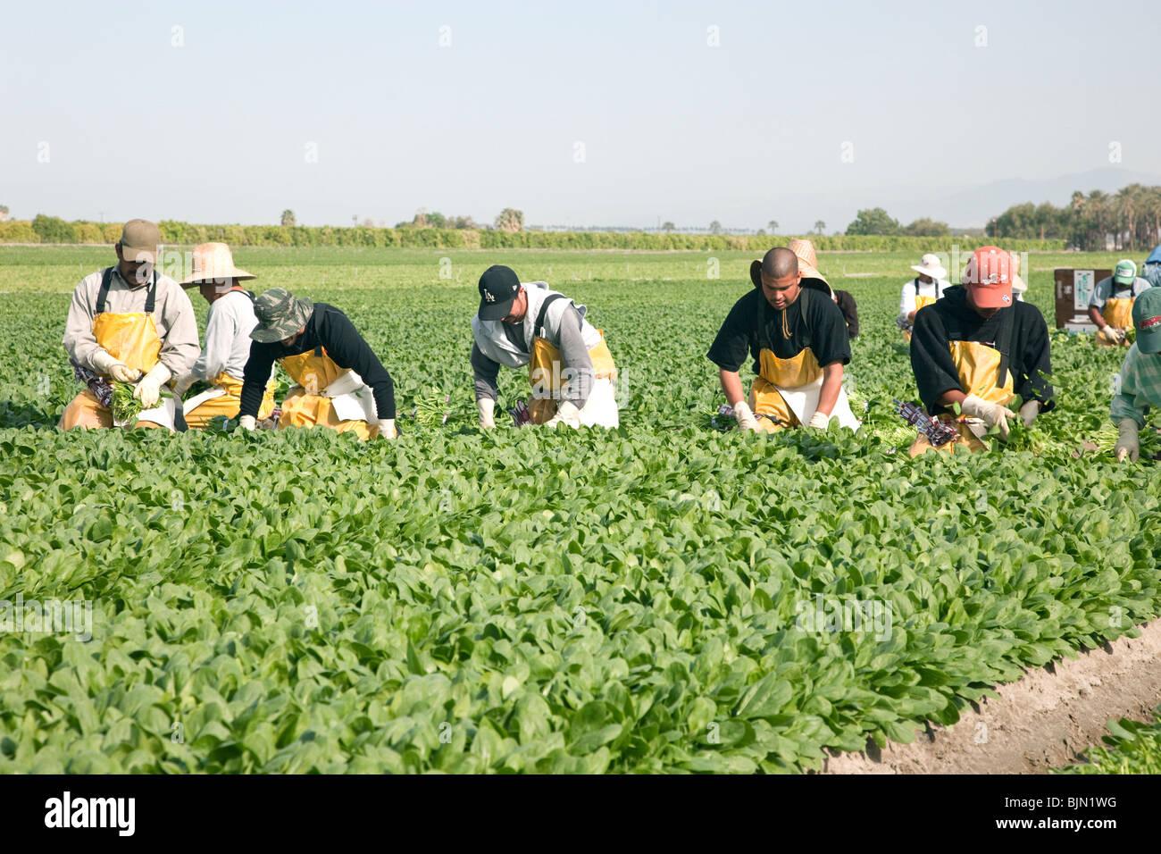 La espinaca, los trabajadores la cosecha. Imagen De Stock