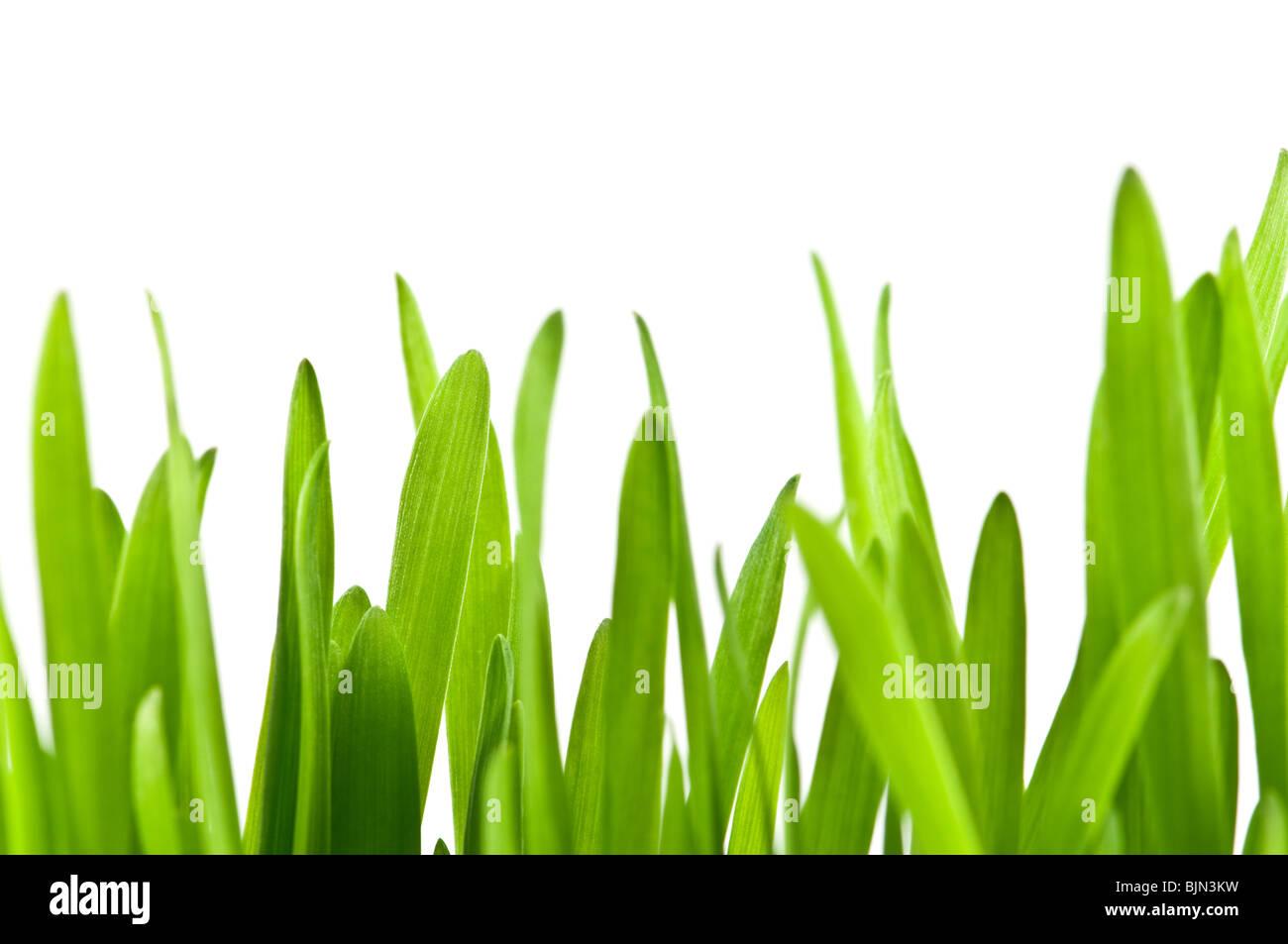 La pasto verde aislado sobre fondo blanco. Foto de stock