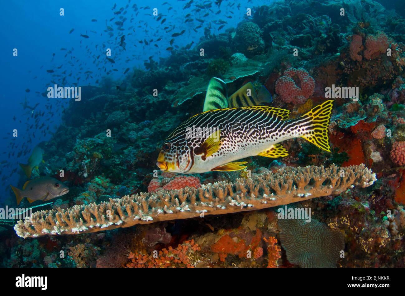 Bandas diagonales, sweetlips Plectorhinchus lineatus, en la actual ciudad de arrecifes de coral, el Parque Nacional Imagen De Stock