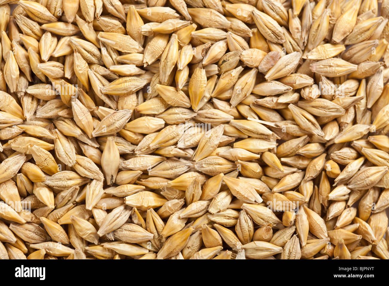 grano de la cebada Imagen De Stock