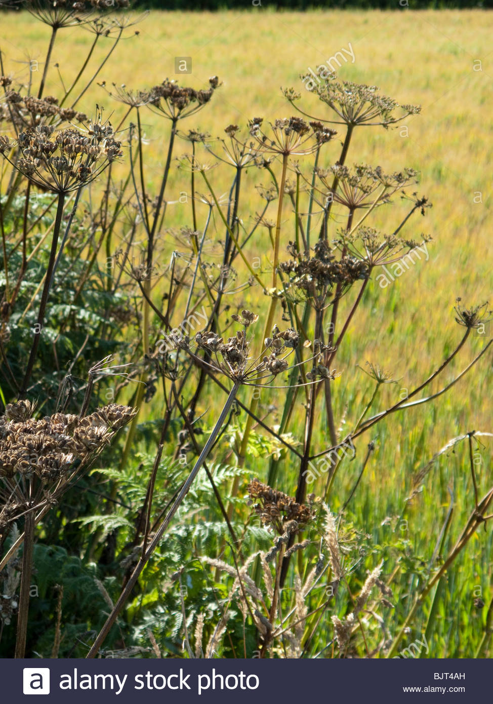 Semillas de Hogweed en el borde del campo a finales de verano Imagen De Stock