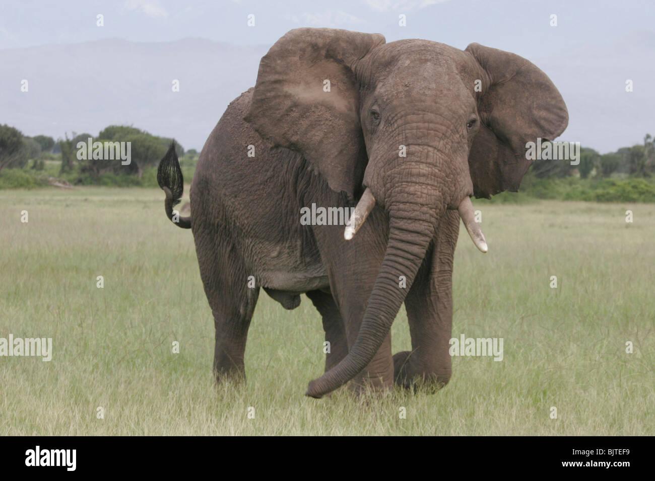 Elefante con las montañas Rwenzori en el fondo. El Parque Nacional Queen Elizabeth. Uganda. África. Imagen De Stock
