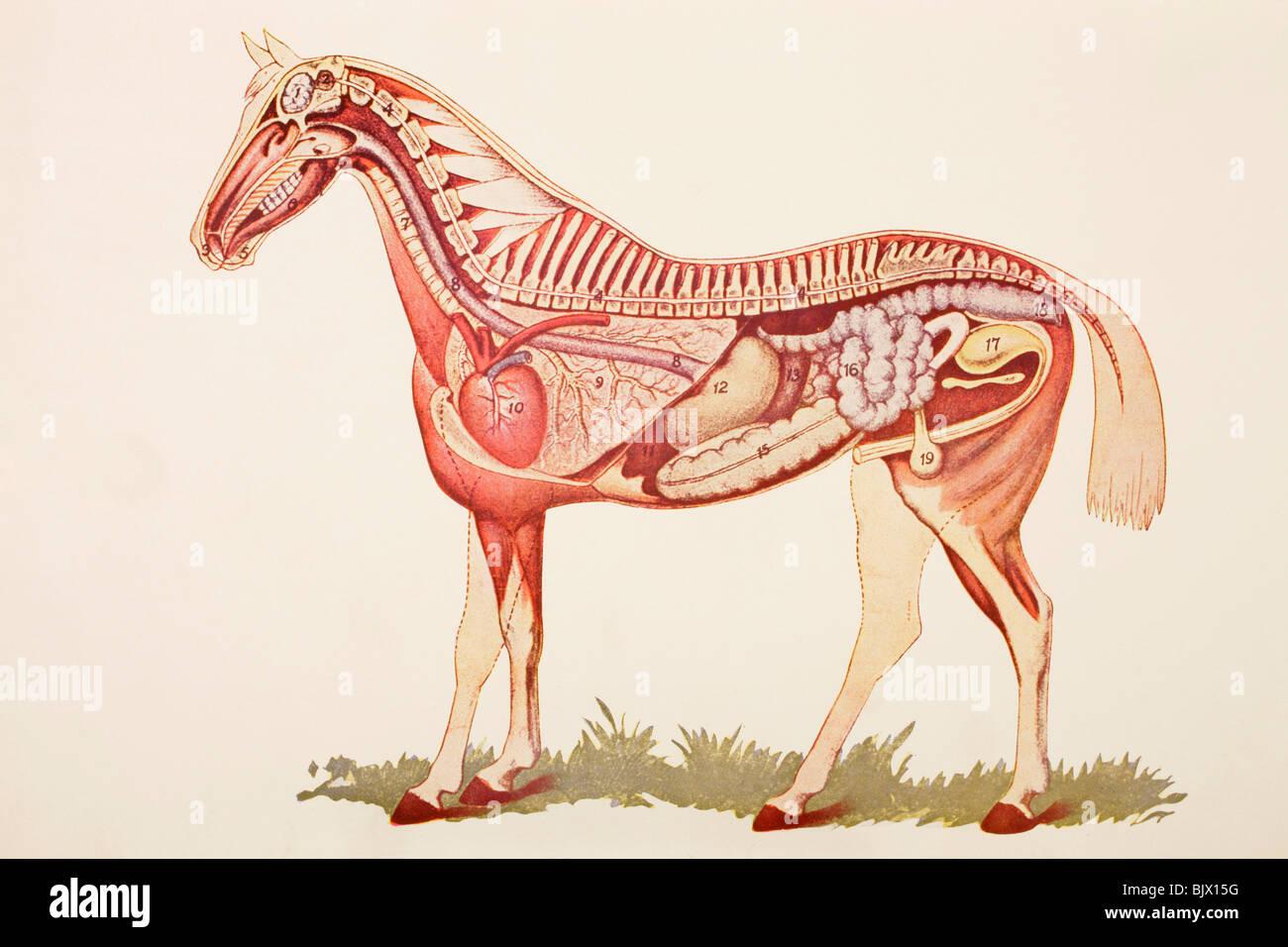 Los órganos internos de un caballo Foto & Imagen De Stock: 28845868 ...