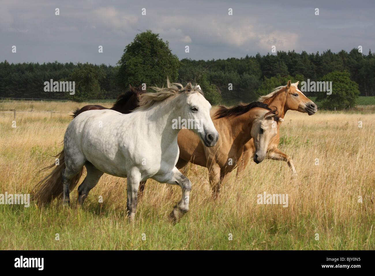 Manada de caballos cuarto de milla Foto & Imagen De Stock: 28867473 ...