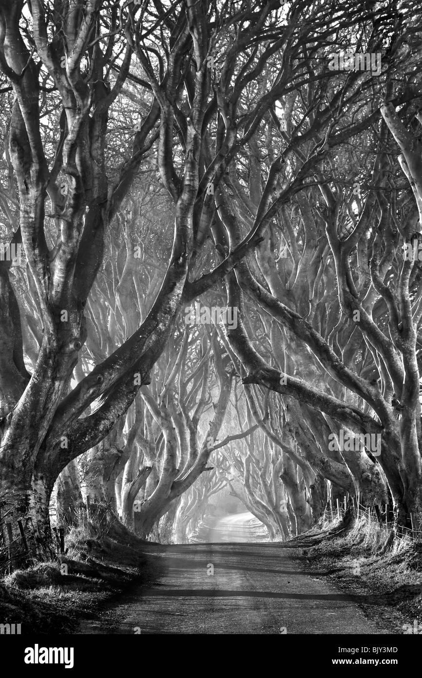 Los setos, oscuro, Armoy Co. de Antrim. Irlanda del Norte. Imagen De Stock