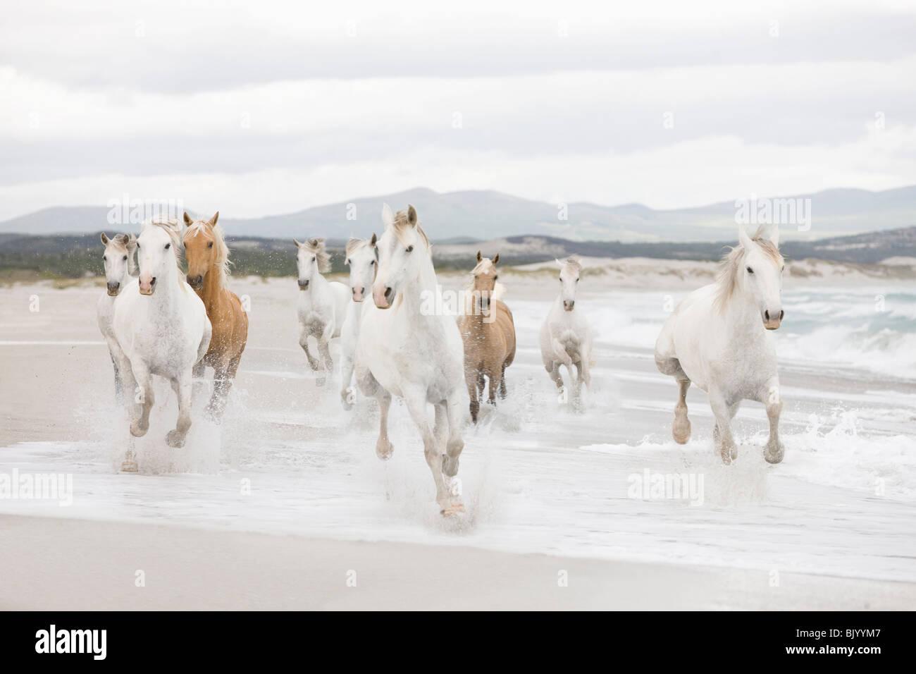 Los caballos en la playa Imagen De Stock