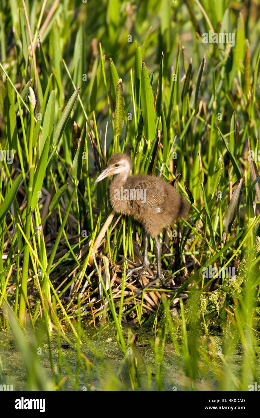 Bebé Limpkin - Green Cay Humedales - Delray Beach, Florida, EE.UU. Imagen De Stock