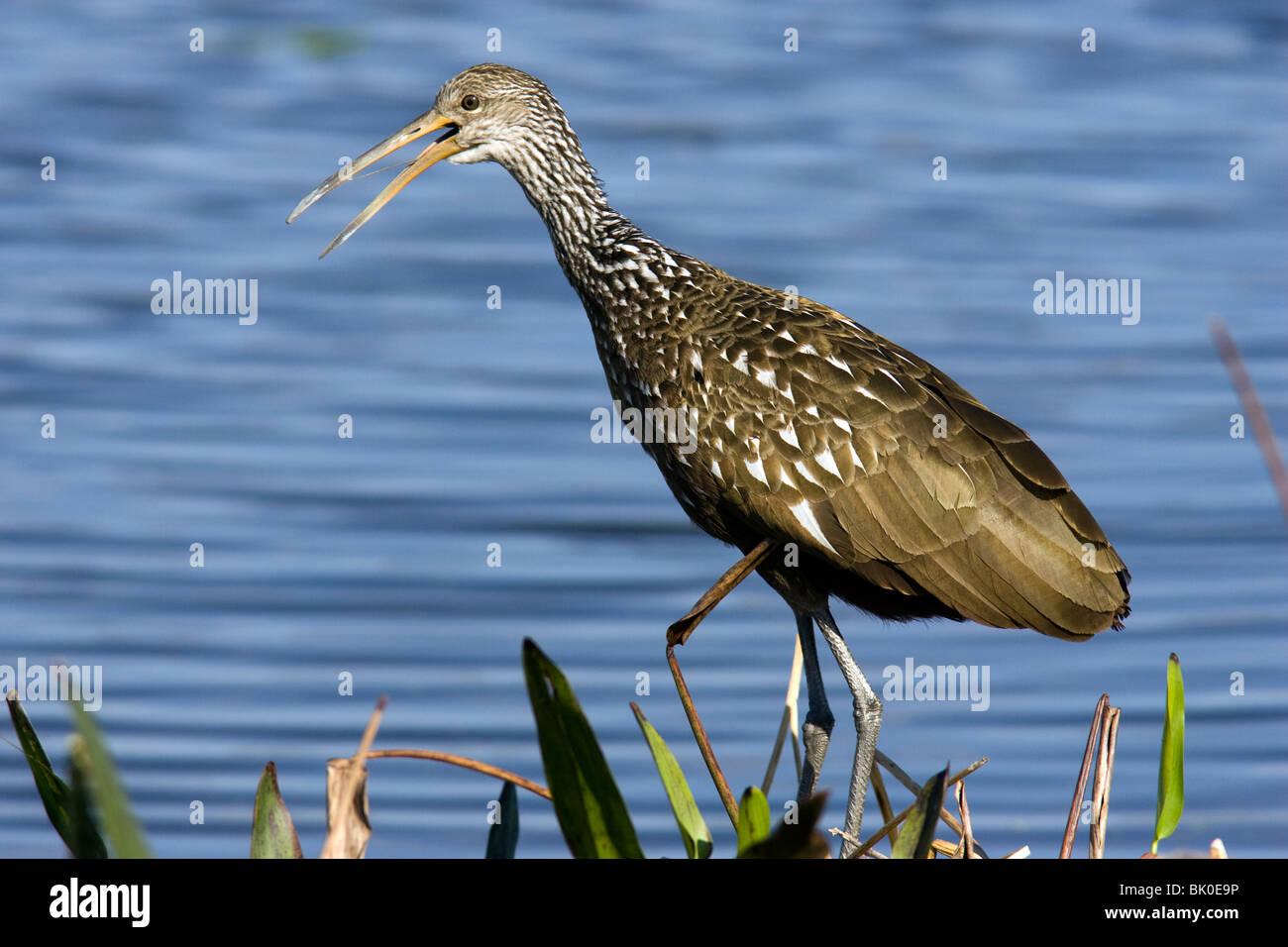 Limpkin - Green Cay Humedales - Delray Beach, Florida, EE.UU. Imagen De Stock