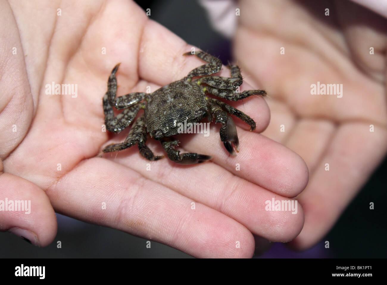Cangrejo Vivo en manos de niños temerosos de las garras del mar mediterráneo crustáceo Foto de stock