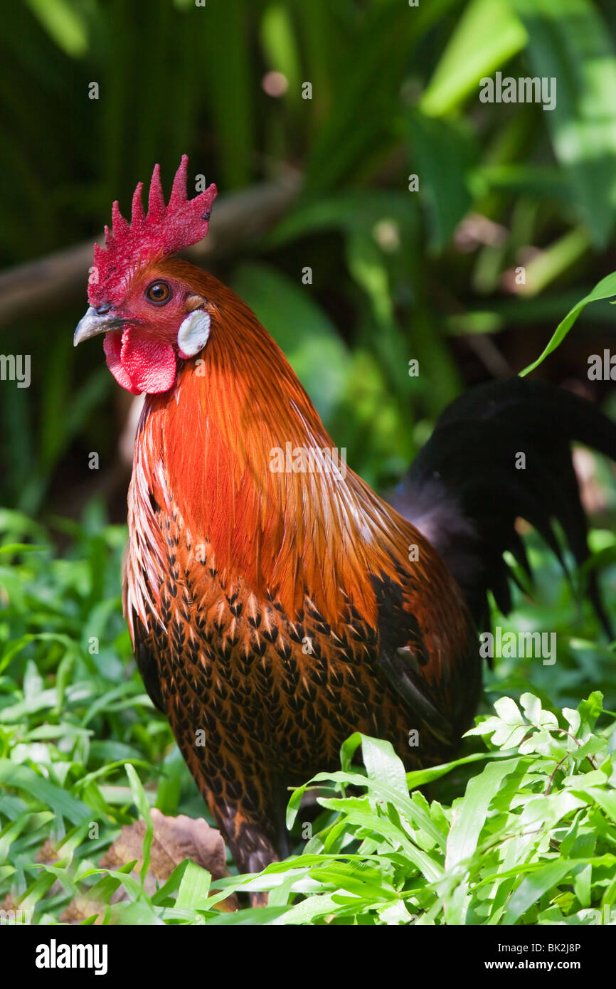 Jungle Fowl Gallo Gallo silvestre Malasia Imagen De Stock
