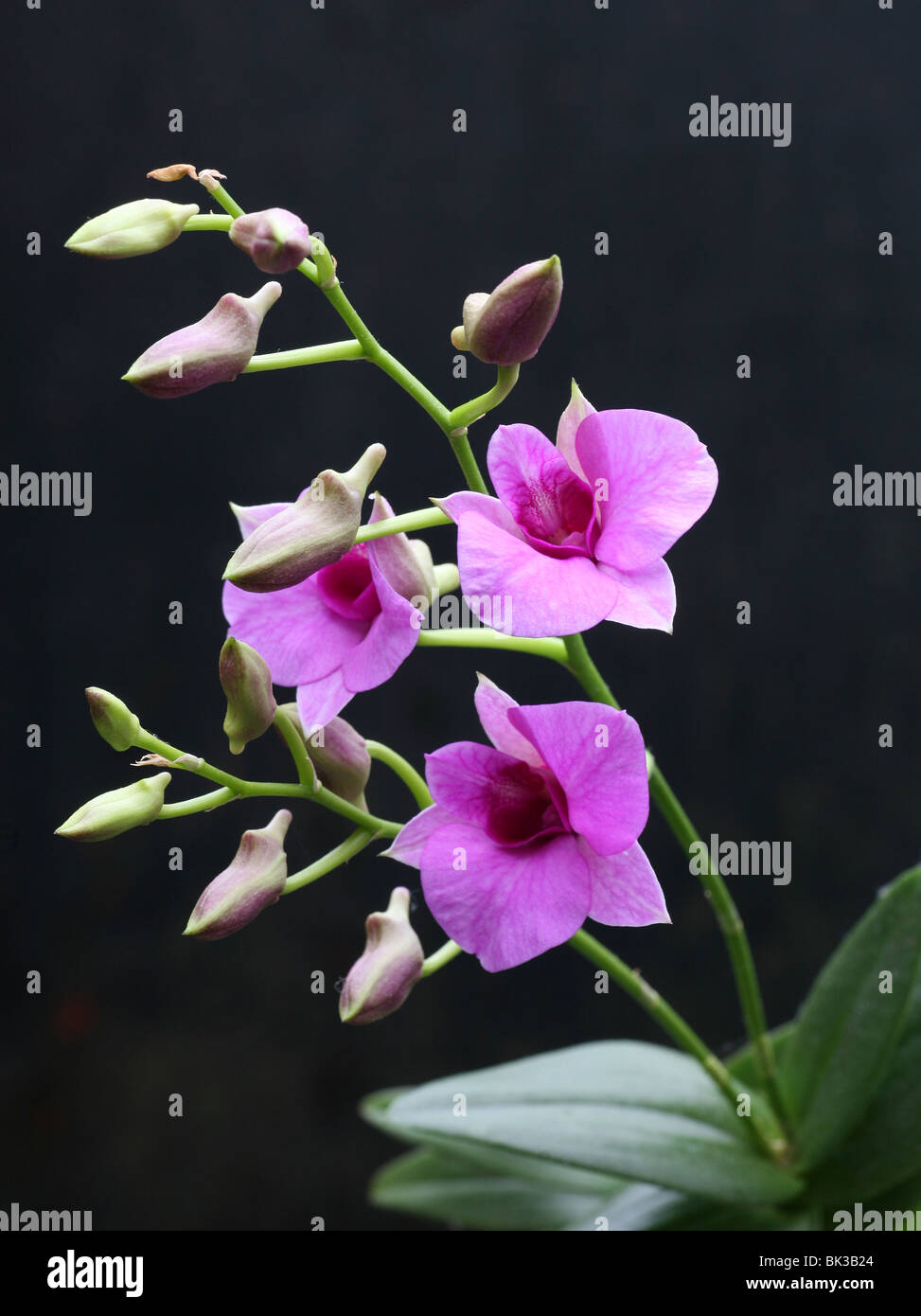 Una flor de Orquídeas Dendrobium morado Foto de stock
