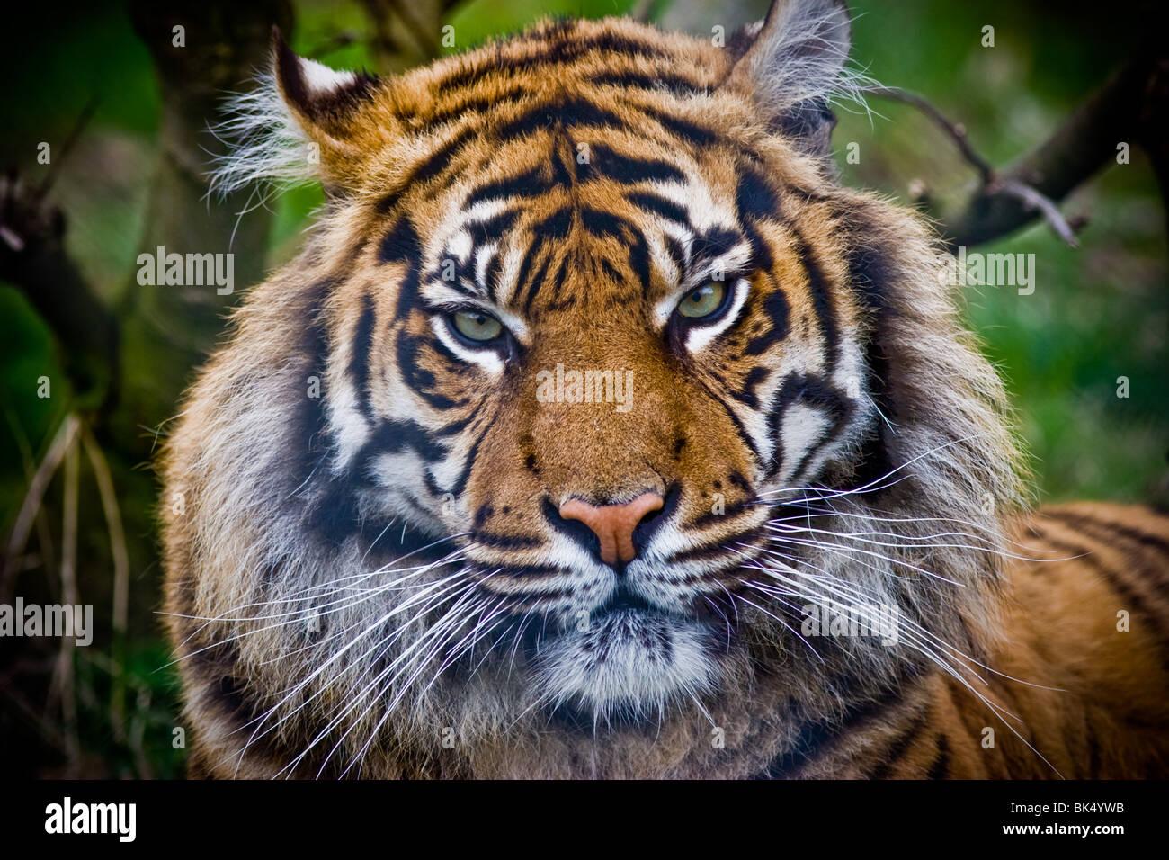 Tigre de Sumatra - Panthere tigris sumatrae Imagen De Stock