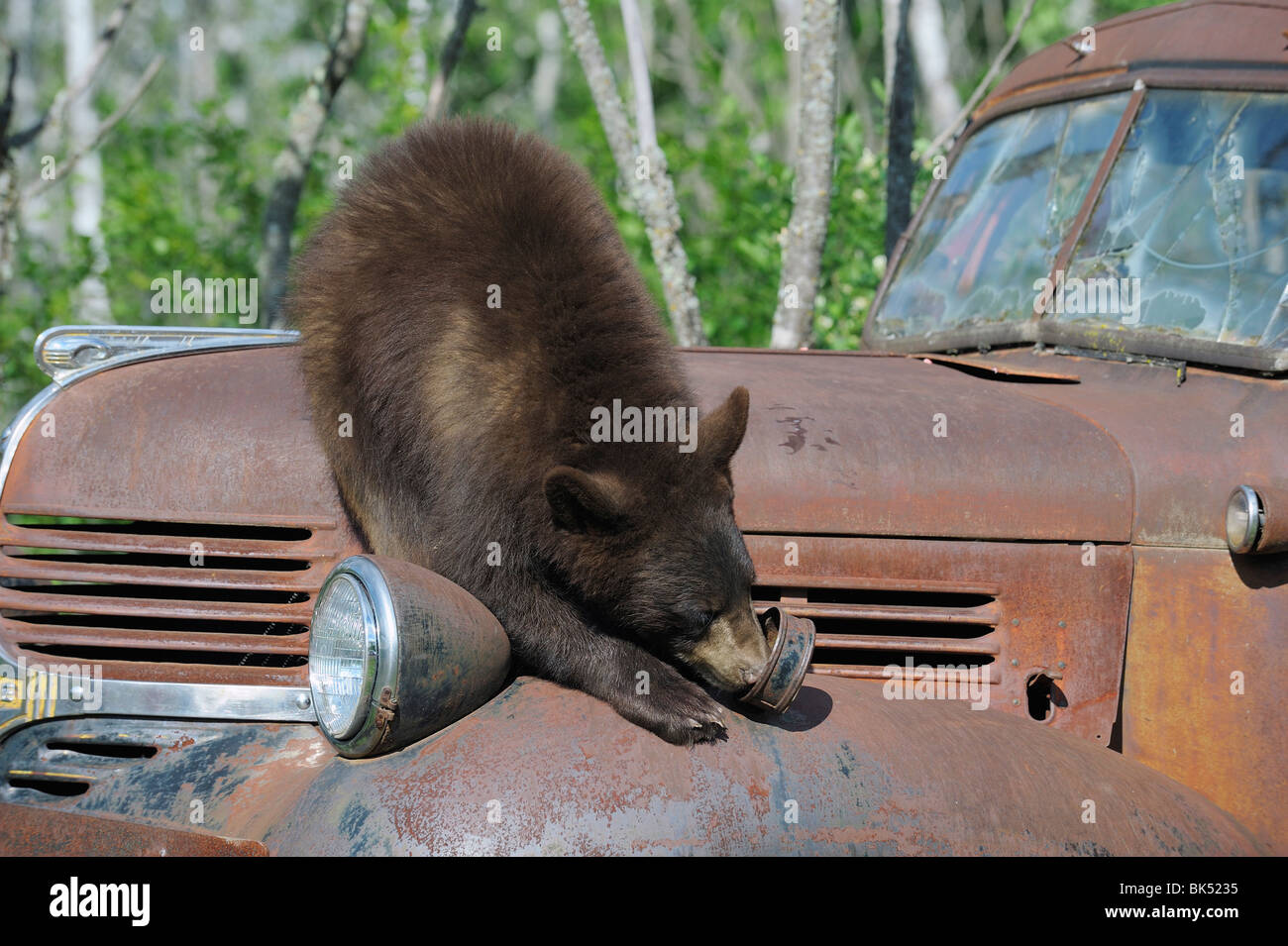 Oso negro sobre camión oxidado, Minnesota, EE.UU. Foto de stock