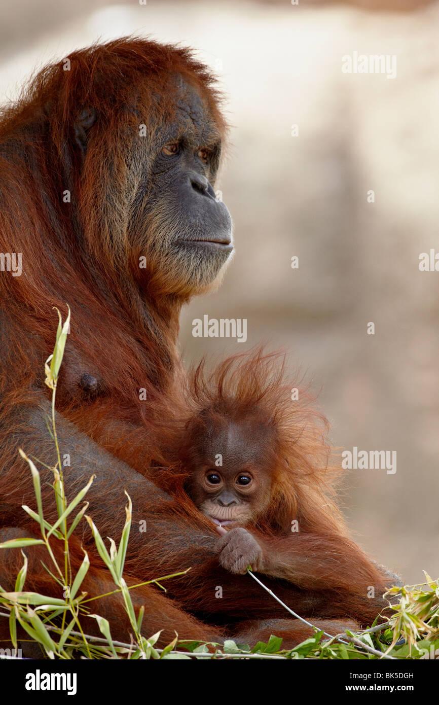 El orangután y el bebé de 6 meses en cautiverio, el zoo Rio Grande, Albuquerque, Nuevo México, EE.UU. Foto de stock