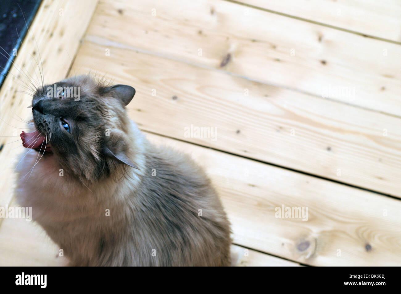 Gato Ragdoll bostezo dientes lengua cute feroz animal felino Imagen De Stock
