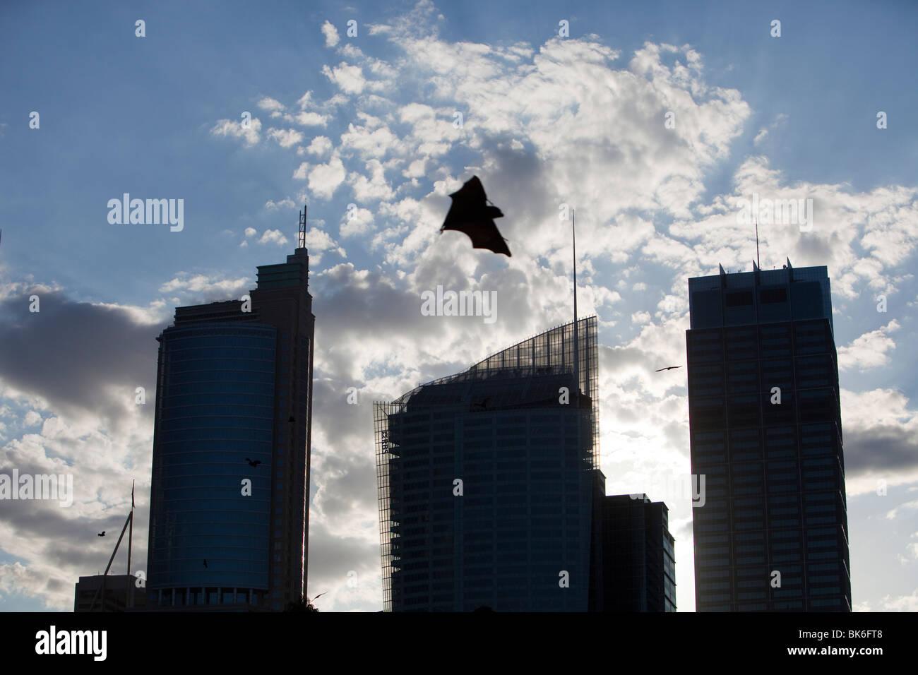 Los murciélagos frugívoros volando en frente del centro de la ciudad de Sydney, Australia, los bloques de la torre. Foto de stock