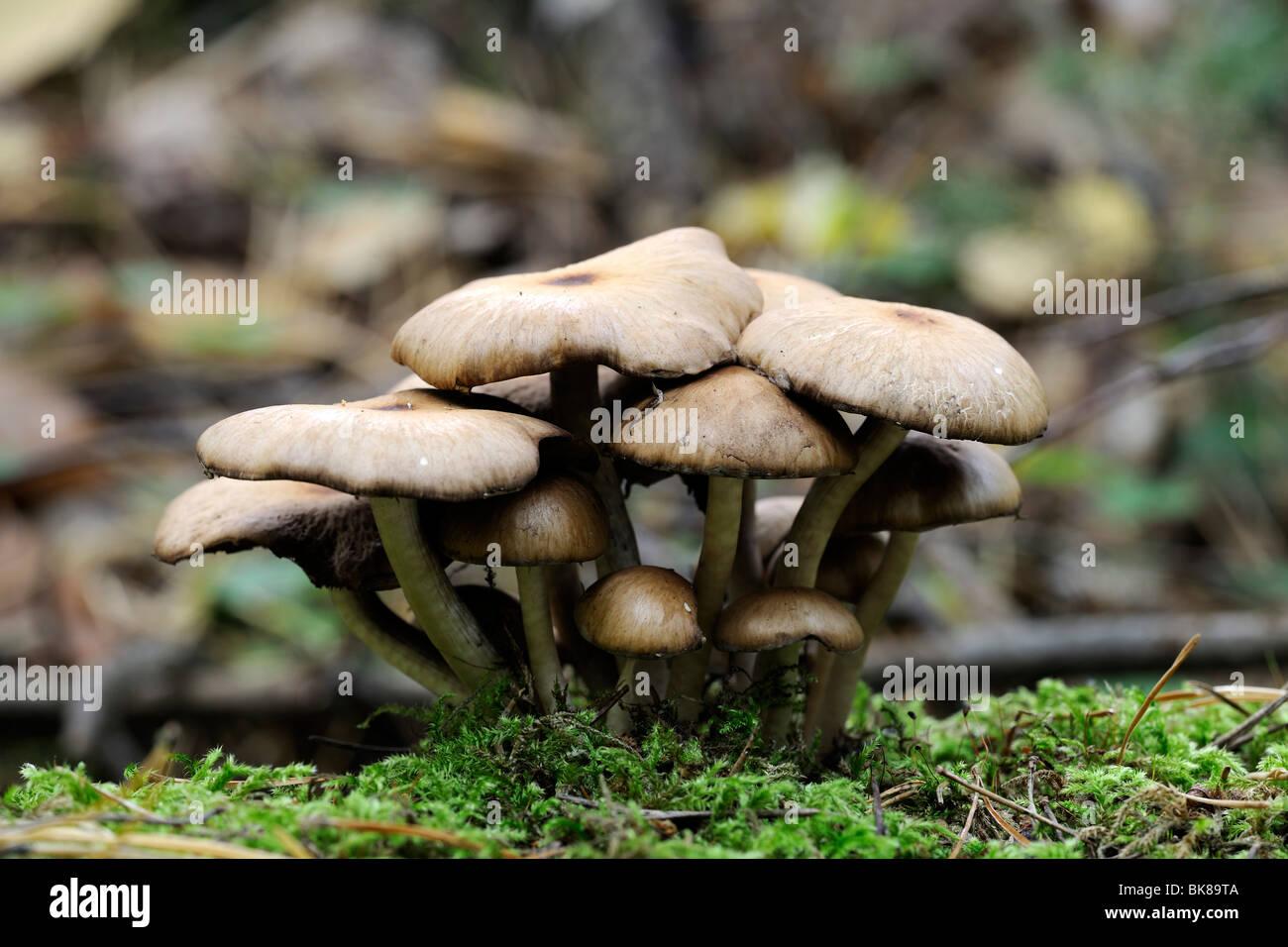 (Lentinus lepideus Lepideus escamosa) Imagen De Stock