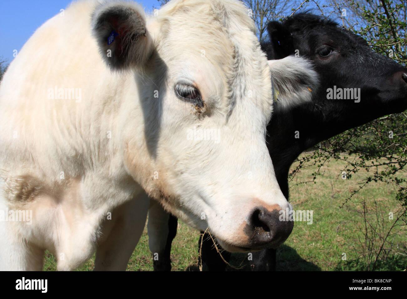 Ganado en una granja del Reino Unido. Imagen De Stock