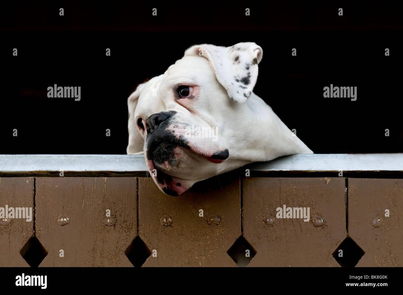 Boxer blanco mirando por encima de una valla Foto de stock