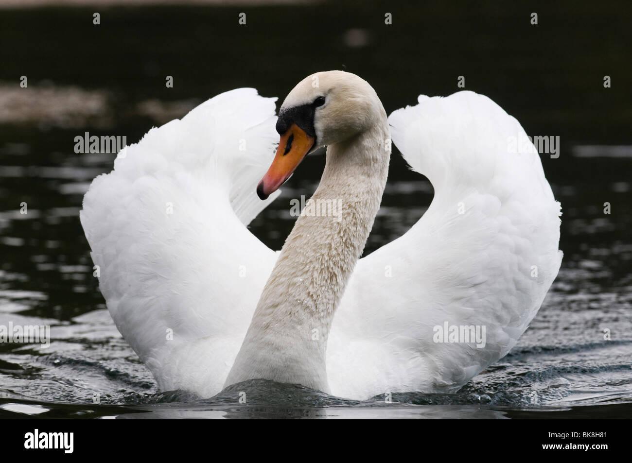 Cisne (Cygnus olor), natación masculina postura de amenaza Imagen De Stock
