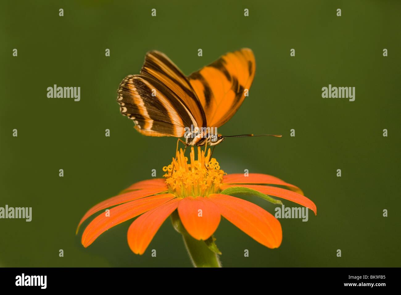 Naranja con bandas Heliconian butterfly (Dryadula phaetusa) polinizando una flor Imagen De Stock
