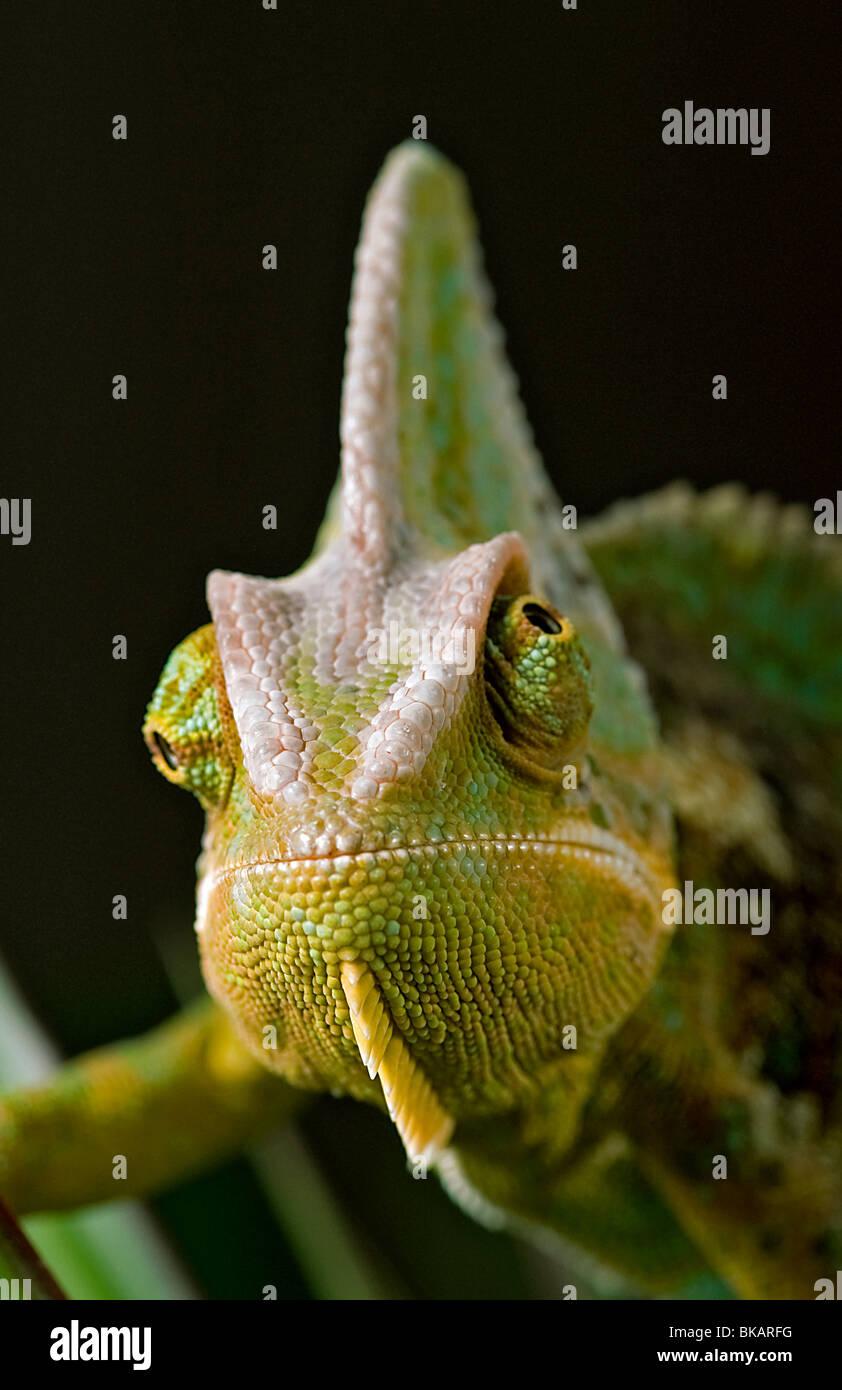 Macho o velado camaleón del Yemen muestra el movimiento del ojo, independiente Imagen De Stock