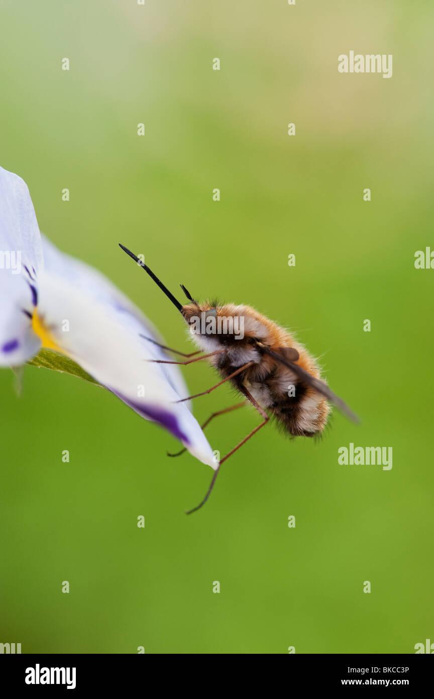 Bombylius major. Abeja grande fly / Oscuro filo-mosca abeja descansando sobre una flor Foto de stock