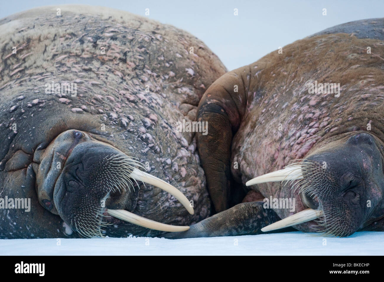 Noruega, Svalbard, Nordaustlandet, dos morsas (Odobenus rosmarus) dormir en el mar de hielo cerca de la isla Lagøya Imagen De Stock