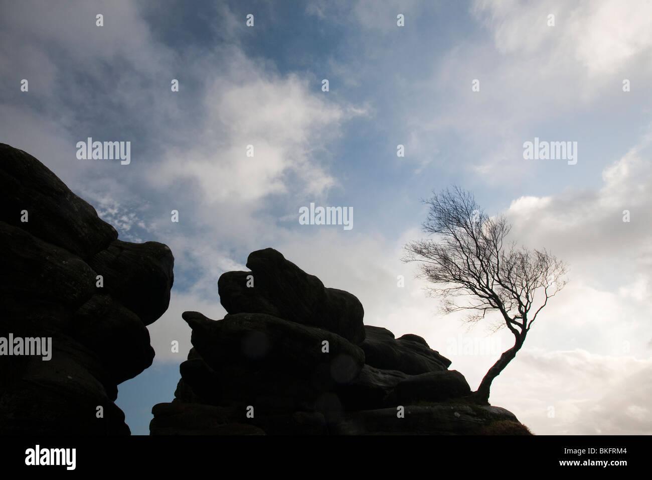 Un árbol doblado en Brimham Rocks en Nidderdale en Yorkshire, Reino Unido Foto de stock