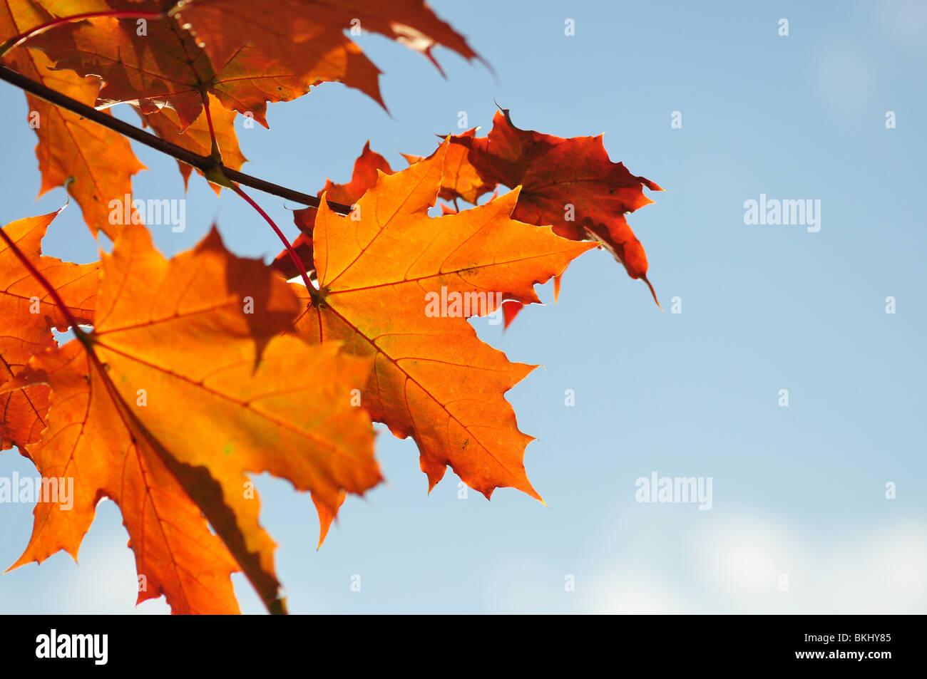 Caen las hojas en otoño, sobre el cielo azul, el enfoque superficial Imagen De Stock