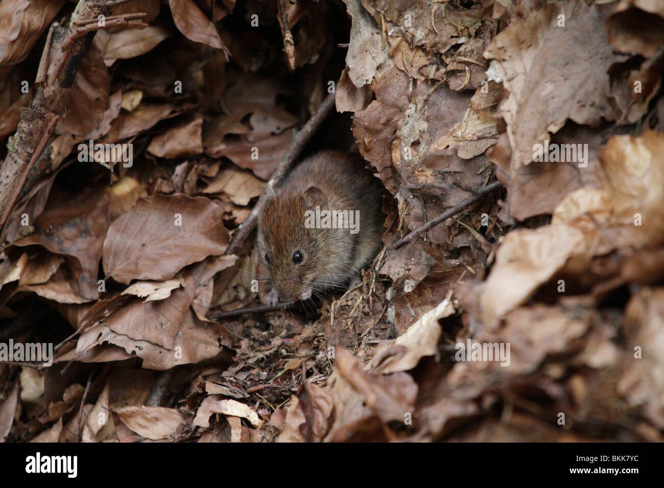 Banco vole ratón (Myodes glareolus) en su hábitat natural. Son (bastante lindo) vectores para el virus Imagen De Stock