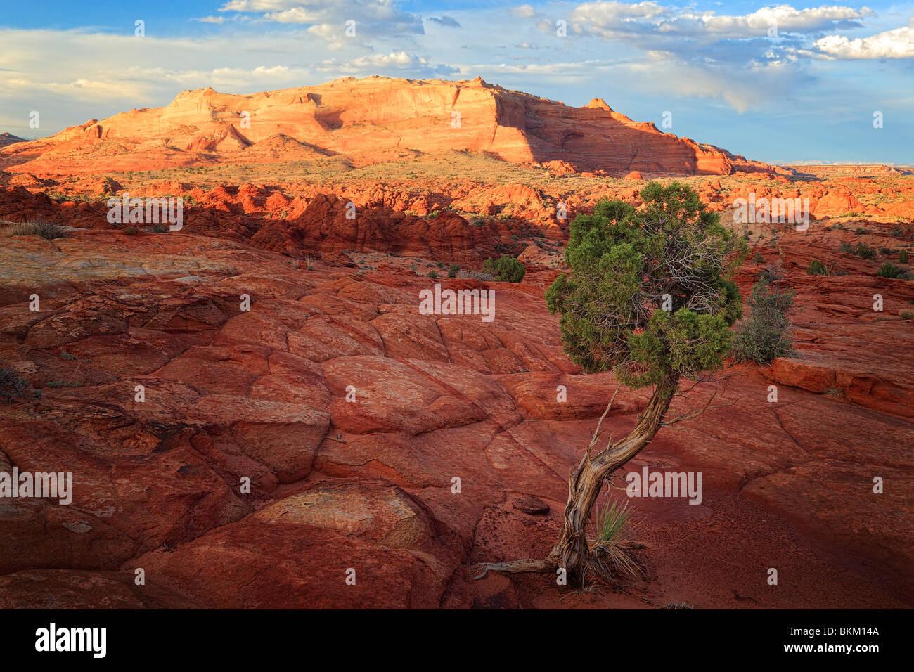 Árbol de enebro y formaciones rocosas en Vermilion Cliffs National Monument, Arizona Foto de stock