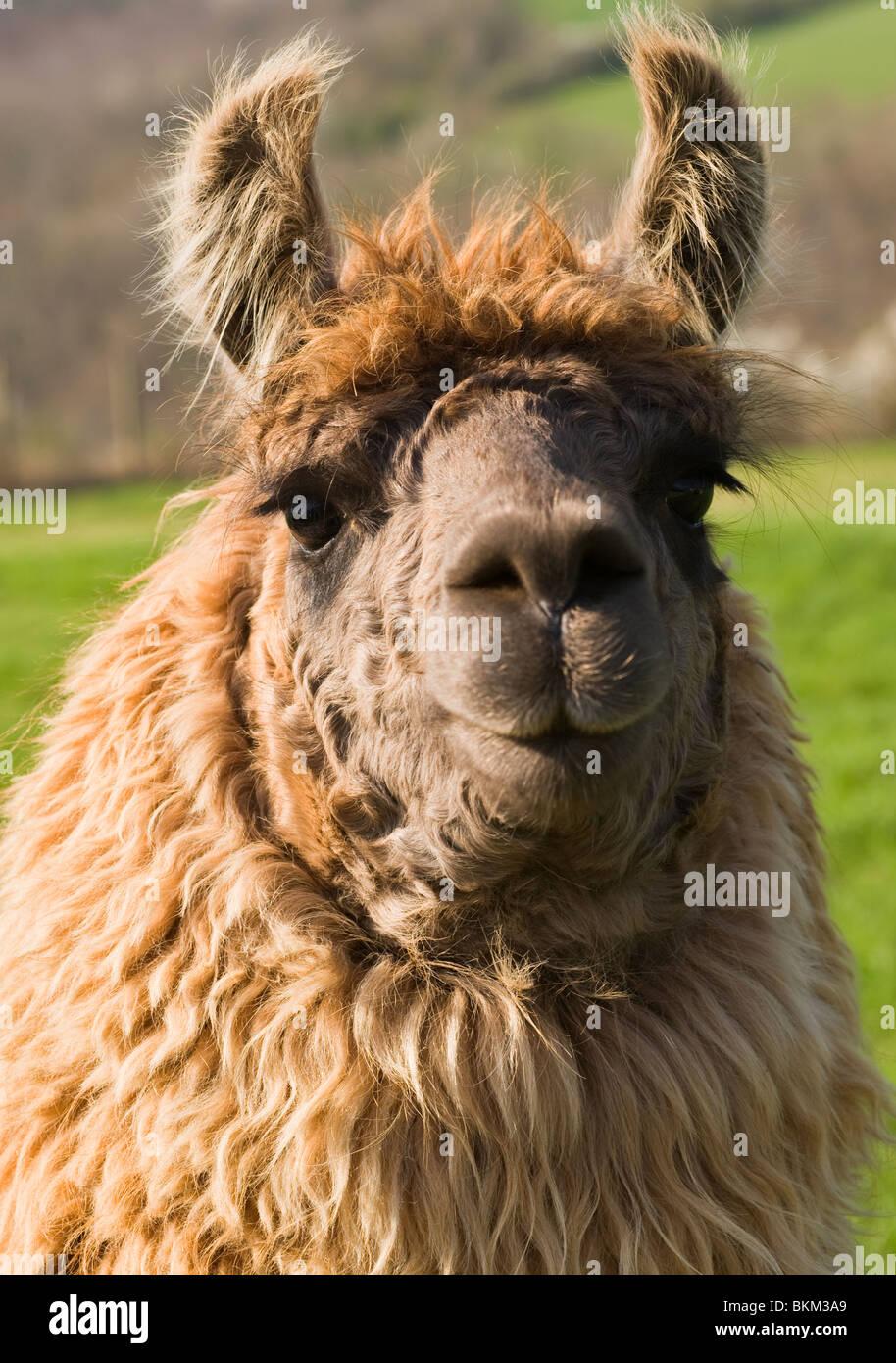 Primer plano de un Llamas cabeza y cara con orejas erguidas en un campo en Laval Aveyron France Foto de stock