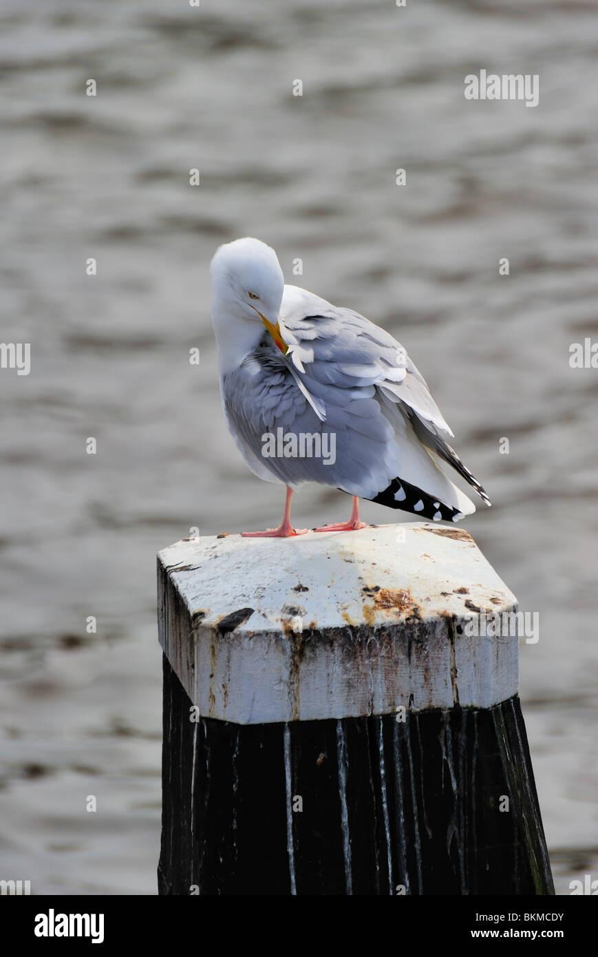 Gaviota argéntea adulta descansando en el post a lo largo del río Amstel, las burlas hacia abajo Foto de stock