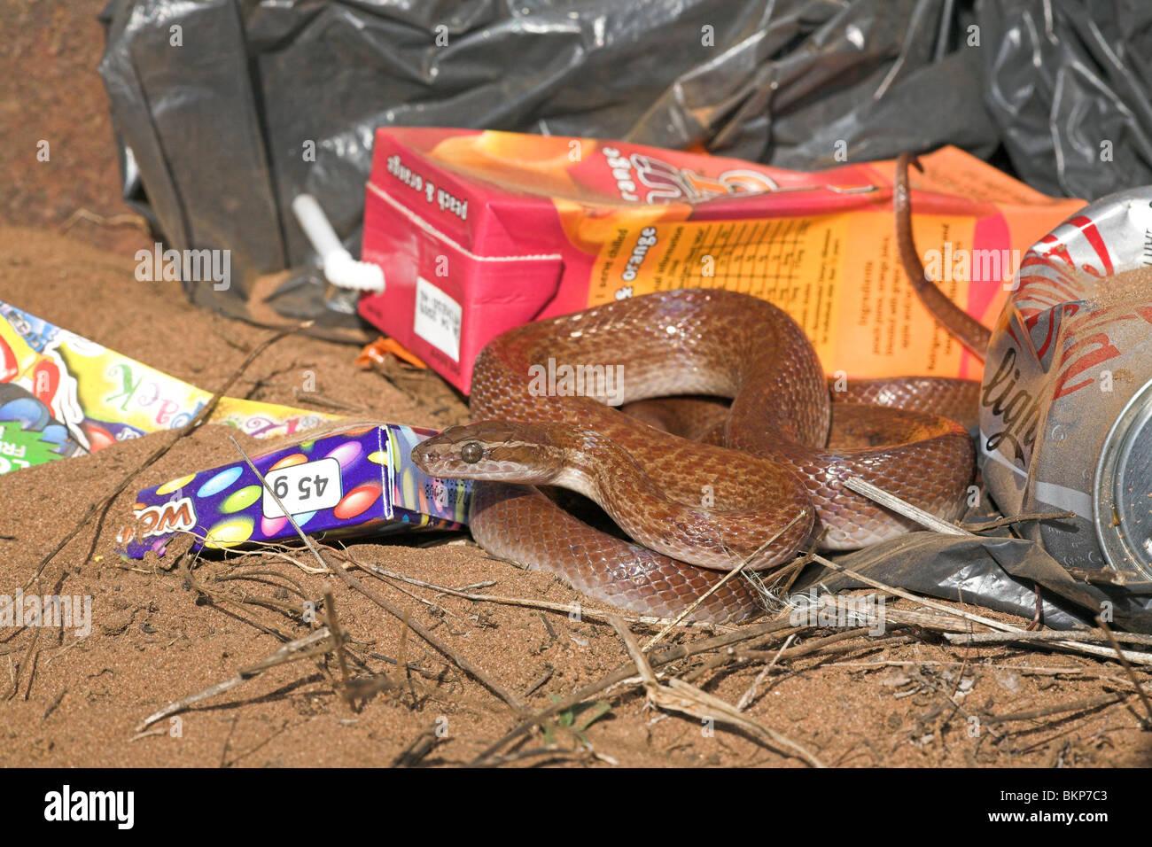 Foto de una casa marrón serpiente entre coloridos basura, Brown House serpientes suelen vivir alrededor de Imagen De Stock