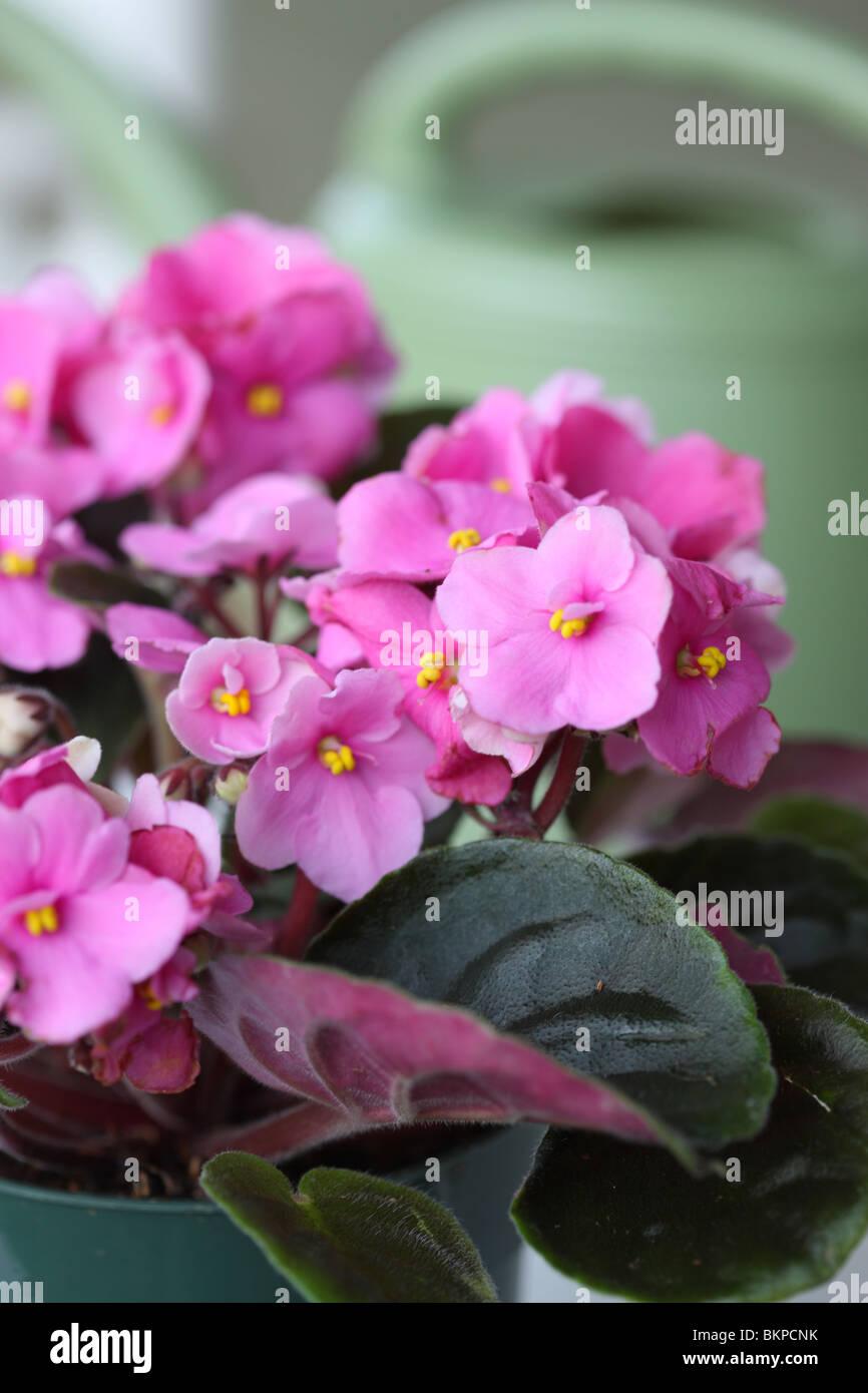 Violeta Africana, Saintpaulia sp. Foto de stock