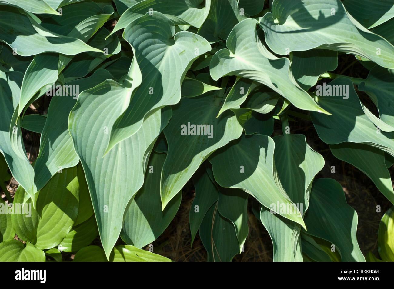 Hosta flecha azul, plátano, Lilly Hostaceae Imagen De Stock