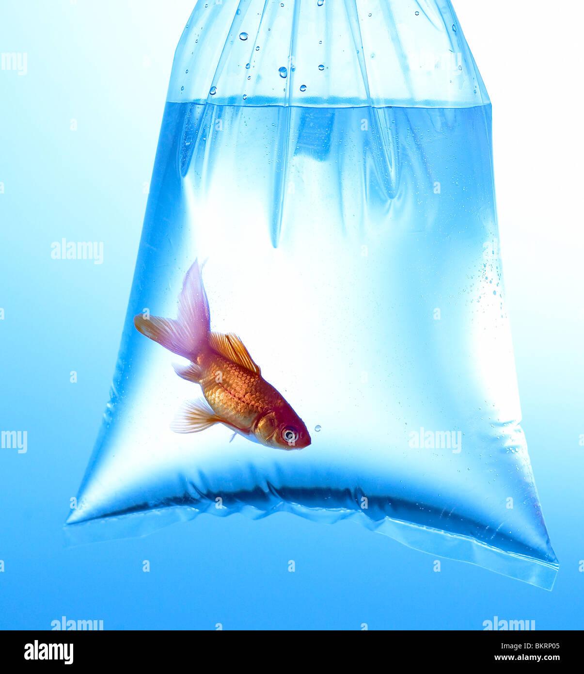 Goldfish en bolsa de plástico transparente, con fondo azul. Imagen De Stock